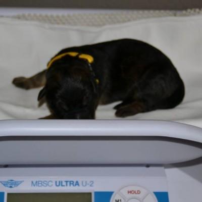 puppy geel